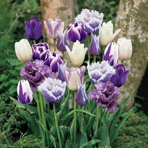 Learn Garden Centre In Richmond Bc Phoenix Perennials Bulb Flowers Tulips Flowers Purple Tulips