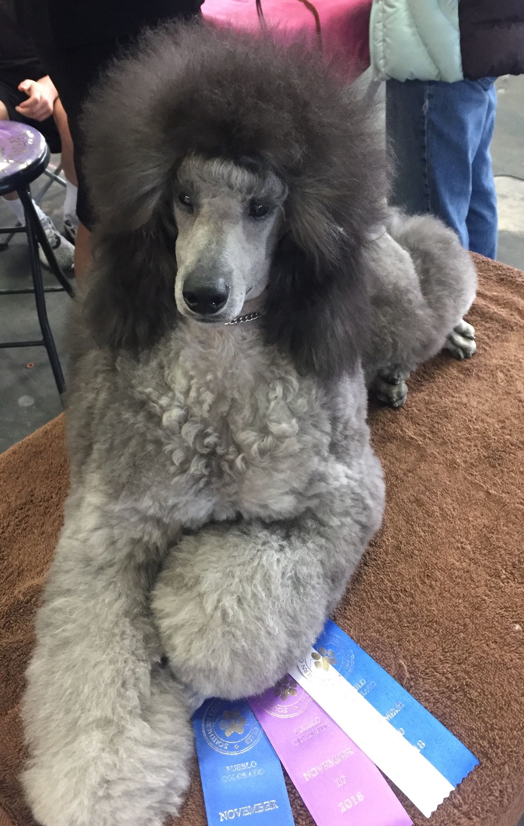 Tinman Poodle Love Poodle Dogs Poodle Hair