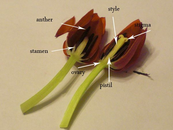 Flower Dissections Tulips And Daisies Classic Housewife Plant Lessons Plant Science Tulips