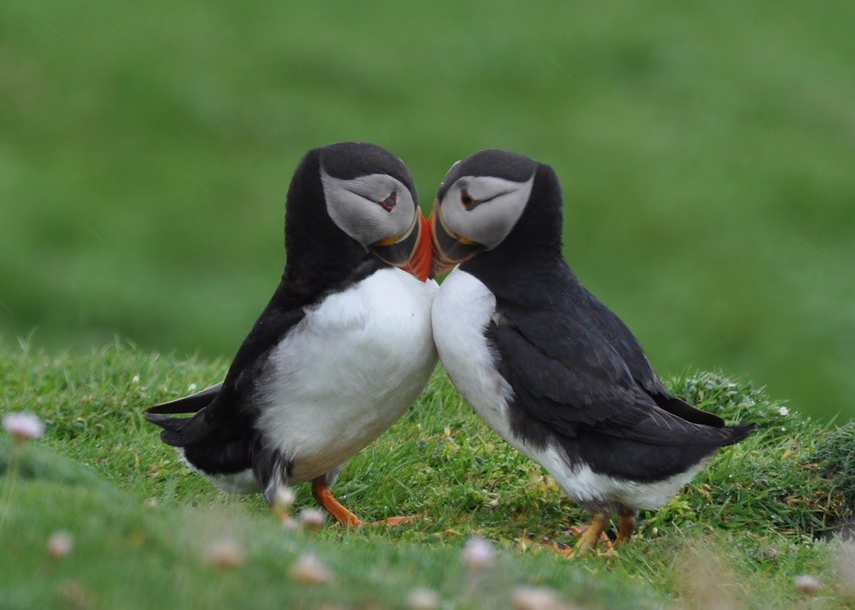 Puffin bird love... exotic birds are the only ones i lie.
