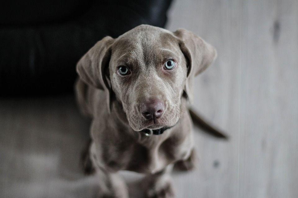 Http Mamboistriano Com 2017 03 18 Prije Negoli Udomite Psa Dobro Razmislite Weimarse Staande Hond Honden Zorg Gehoorzaamheidstraining Voor Honden