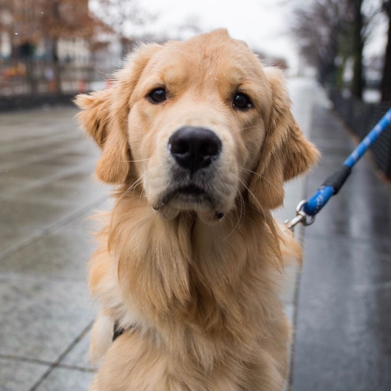 Finnley Golden Retriever 9 M O Little West 3 Pl New York