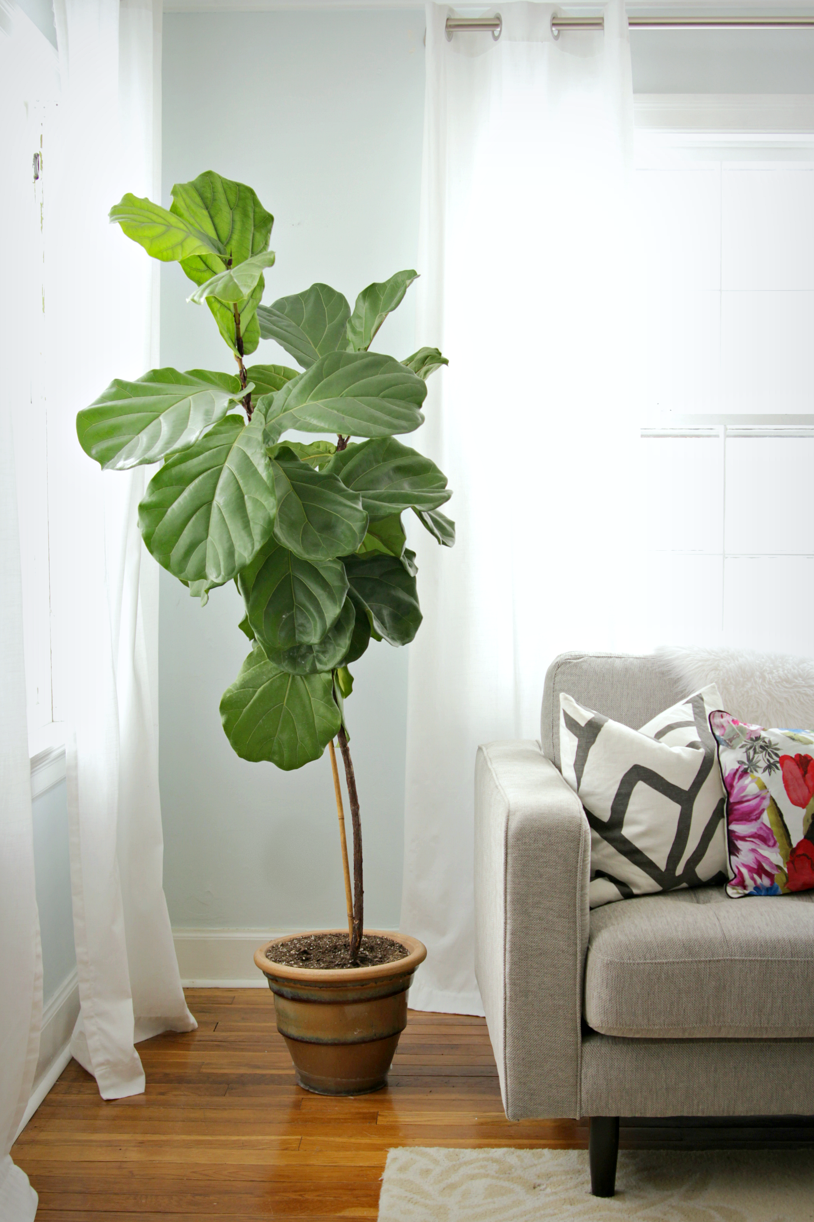 How to Keep a Fiddle Leaf Fig Alive and Happy | Fiddle leaf fig ...