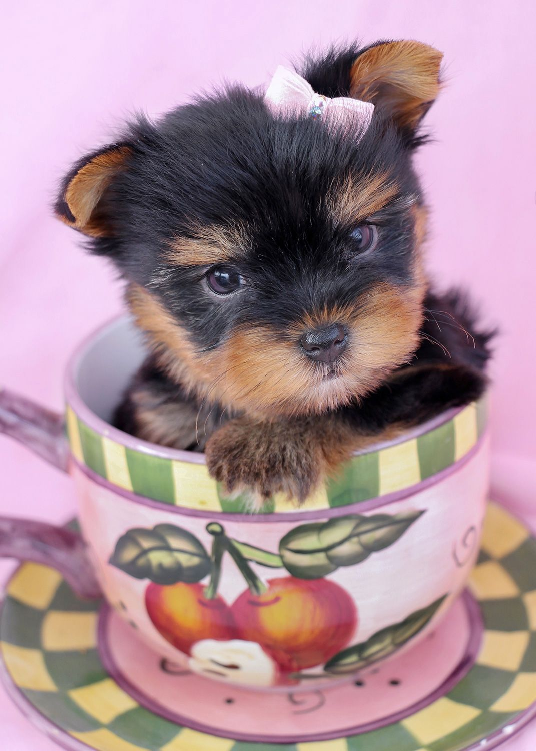 Yorkshire Terrier Puppies by TeaCup Puppies Cachorro