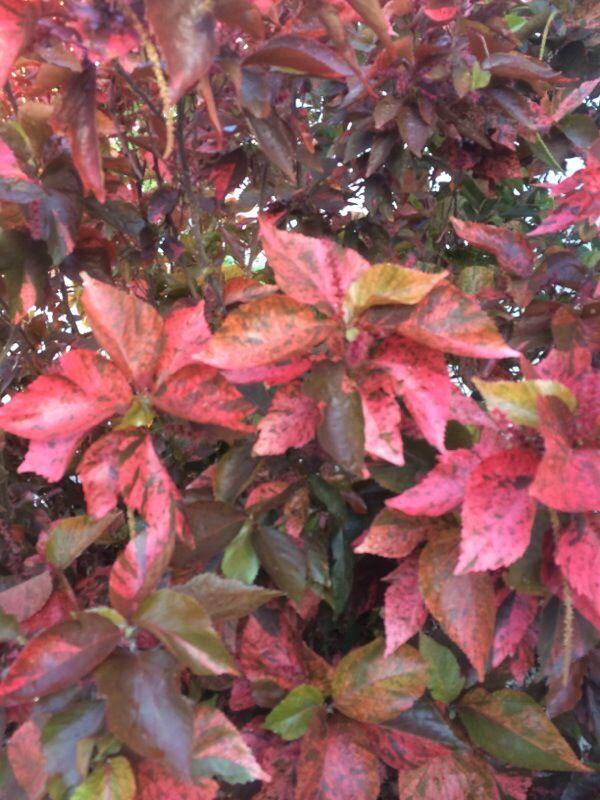 Copperleaf Acalypha Wilkesiana Your Plant Looks Like An Acalypha