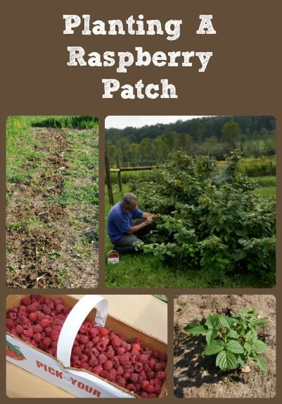 Planting a raspberry patch is a great addition to the homestead ...