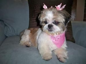 Hannah Is An Adoptable Shih Tzu Dog In Wichita Ks You Can Fill Out