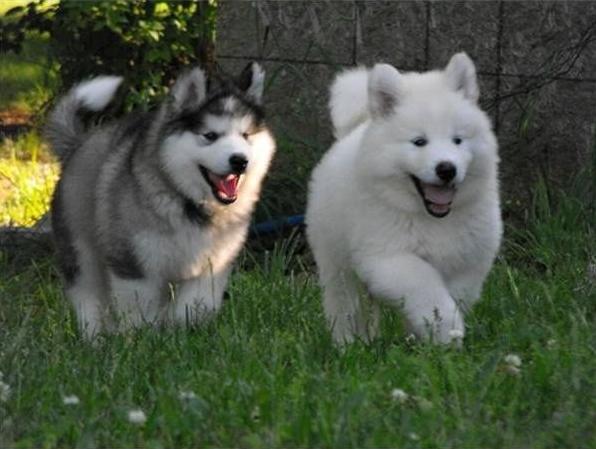 Buy Sell Alaskan Malamute Puppies Online Https Www Dogspuppiesforsale Com Alaskan Malamute Shenki Korgi Shenki Alyaskinskij Malamut