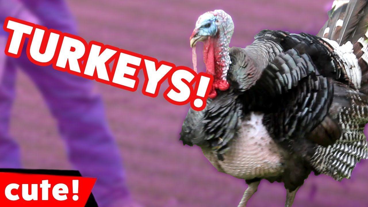 Funniest Turkey Videos & Bloopers Weekly Compilation 2016