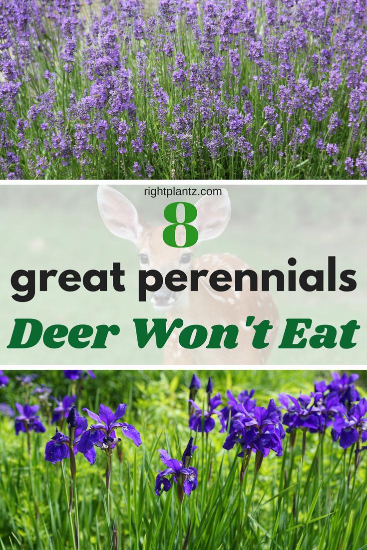 8 Great Perennials Deer Do Not Eat I Rightplantz Com Deer Repellant Plants Deer Resistant Landscaping Deer Resistant Garden