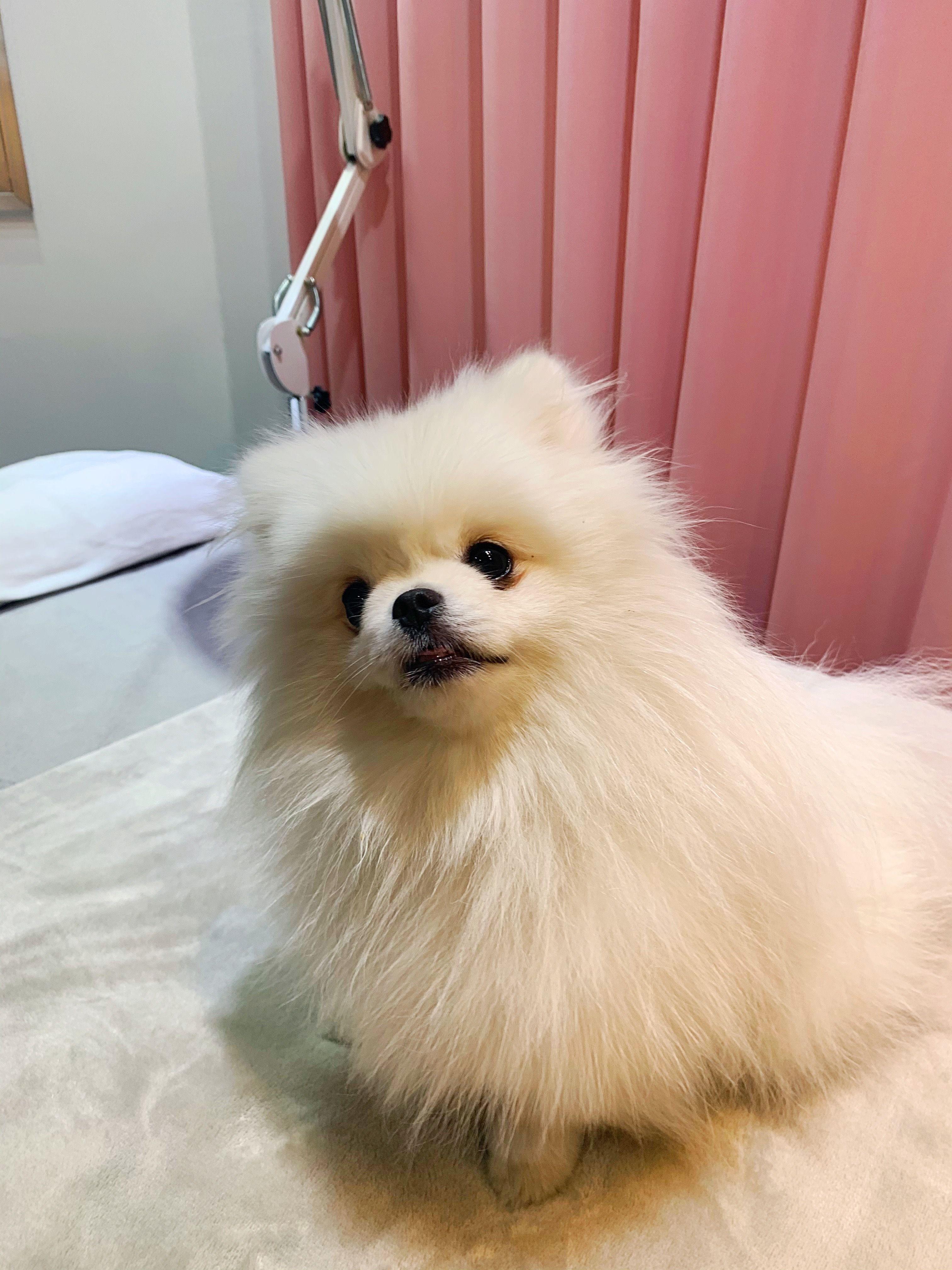 Gorgeous Pomeranian Puppy Girl  #teacuppomeranianpuppy Teacup Pomeranian from Korea #teacuppomeranianpuppy