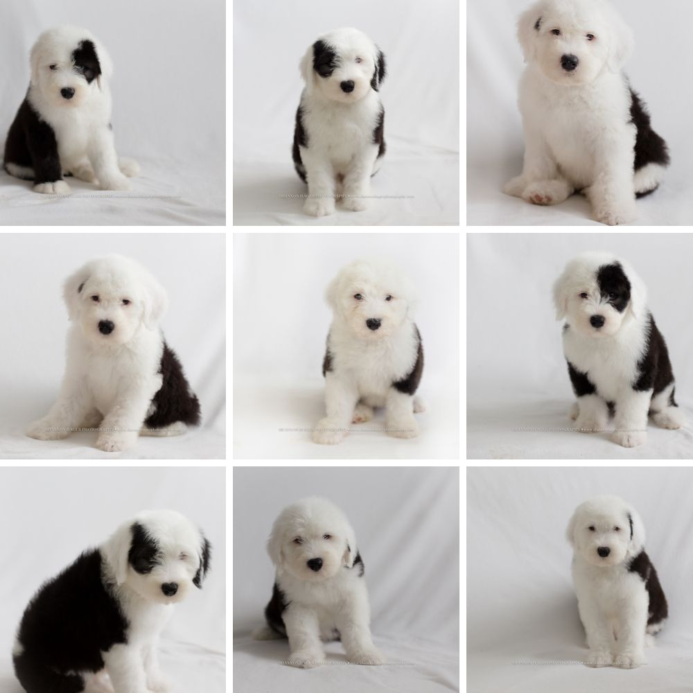 old english sheepdog puppies, snowdowne, oes puppies, oes