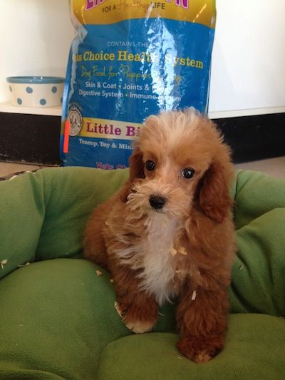 Puppies For Sale Boca Raton Fl Toy Poodle Puppies Puppies For