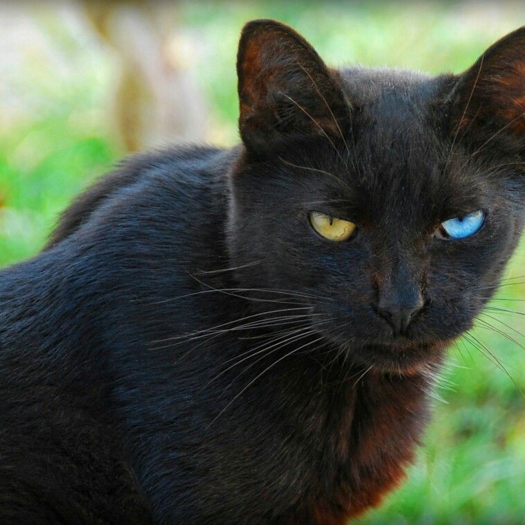 Black cat breeds cat with blue eyes cute