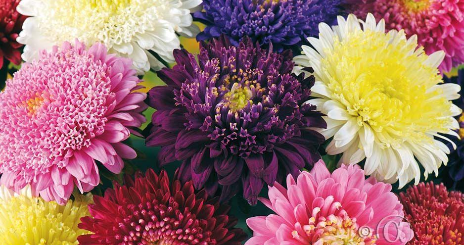 Asteri asteri | flowers | pinterest | flowers, seeds and princess