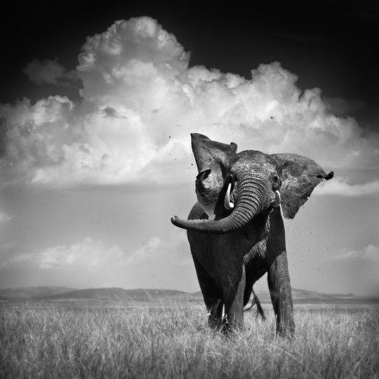 Elephant throwing dirt masai mara collection by urszula kozak