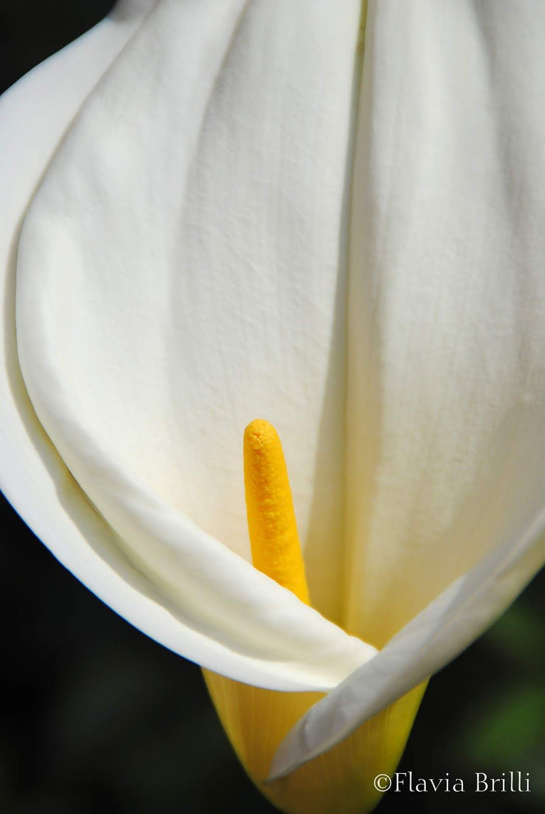 Calla Lily A True Sculptural Beauty It Beguiles Me Every Year Soon As It Appears In My Garden I Am Reminded Of The Great Photographer In 2020 Calla Lily Lily Calla