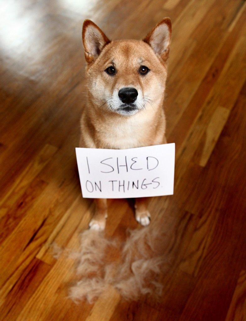 My Life With A Shiba Inu Shiba Inu Shiba Inu Dog Shiba