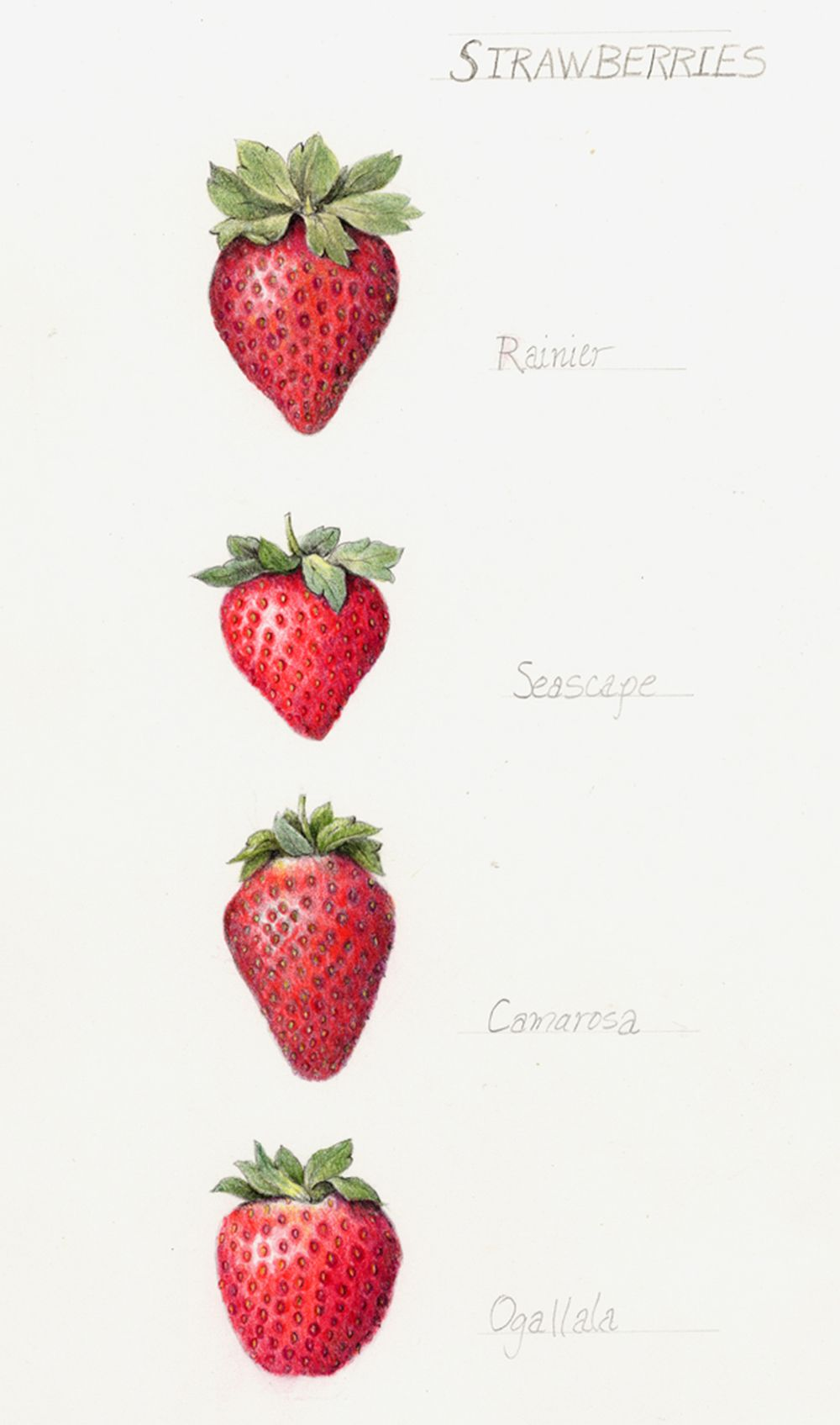 strawberry botanical illustration pinterest tattoo