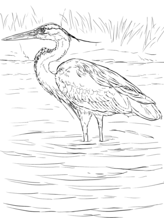Great Blue Heron Stands In Wetland Coloring Page Blue Heron Coloring Pages Heron