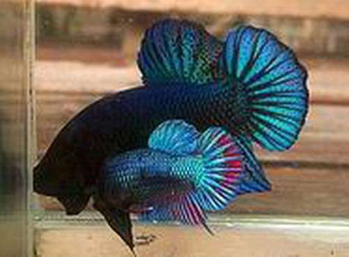 Giant betta betta fish pinterest betta betta fish for Biggest betta fish
