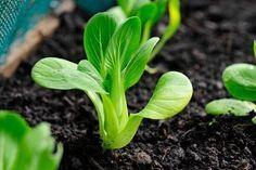 How to Grow Bok Choy - important tip: keep moist