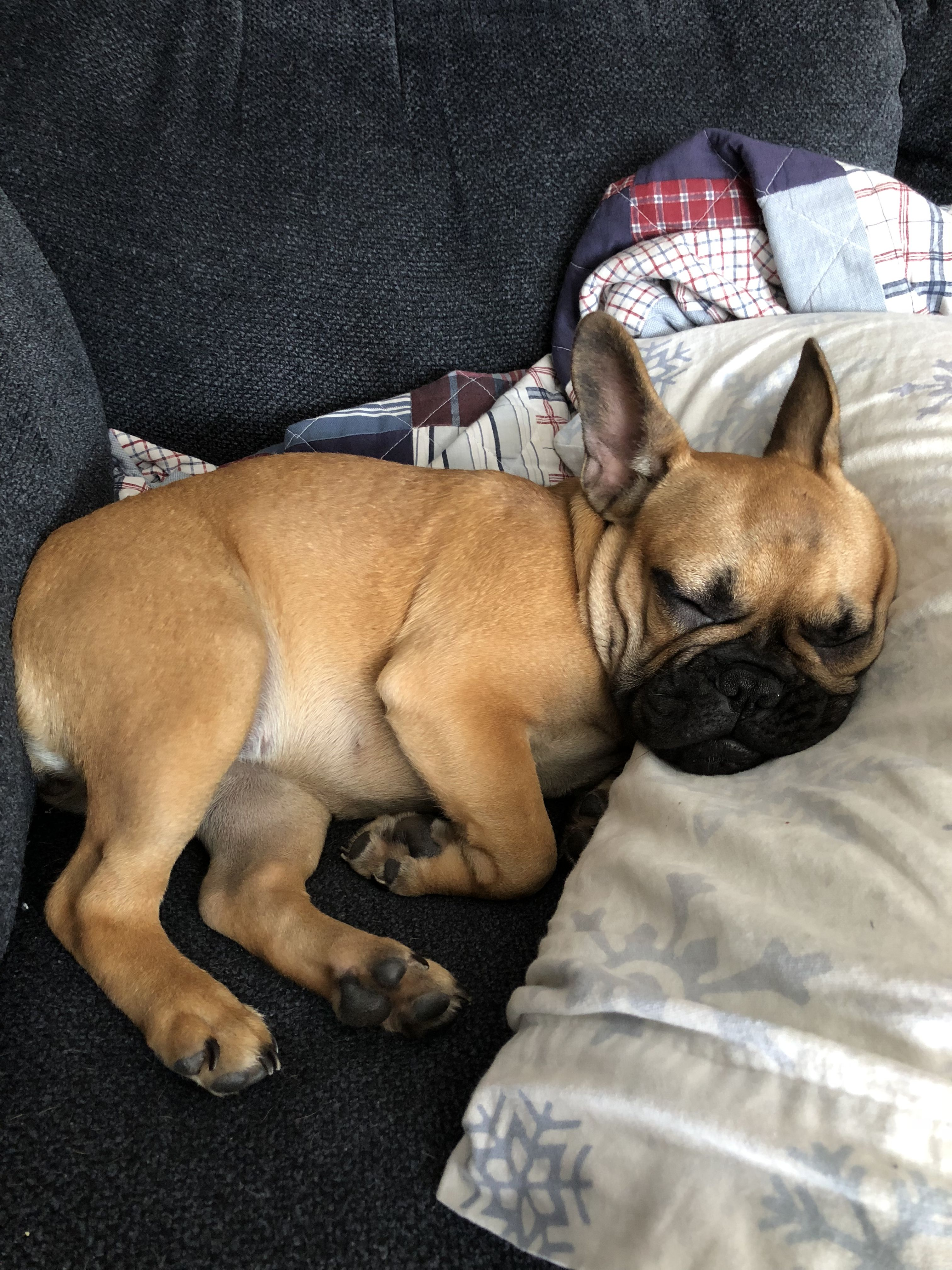 Pin von Elisha Goulet auf Ruby the French Bulldog