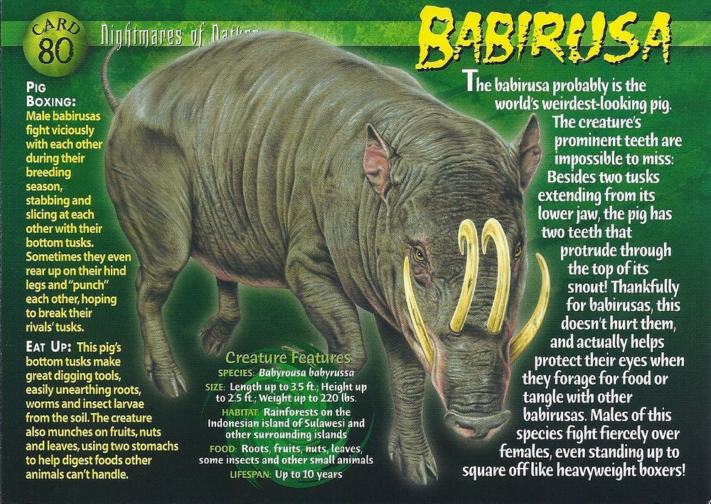 Babirusa wild creatures animal facts weird creatures