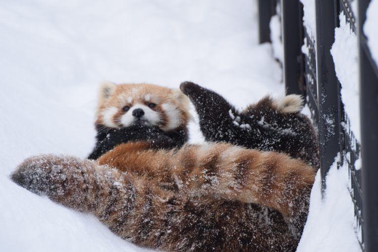 円山動物園 ホクトとココ  Red pandas レッサーパンダ 小熊猫
