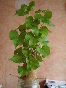 diy comment avoir une belle plante verte chez soi en peu de temps planter une patate douce. Black Bedroom Furniture Sets. Home Design Ideas