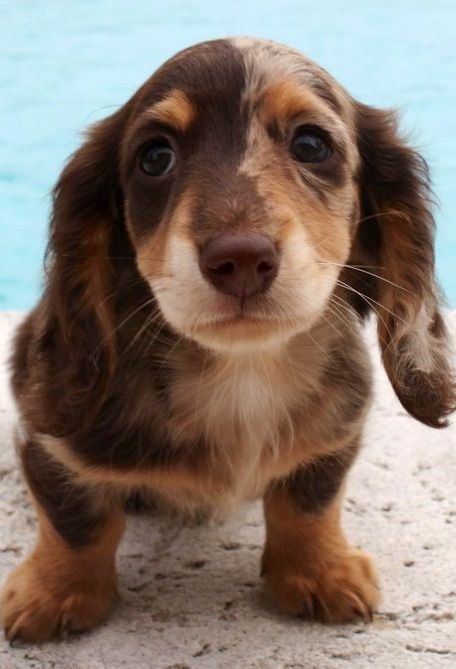 I Want This Doxie So Cute Dachshund Puppies Weenie Dogs