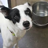 Pictures Of Carly A Border Collie For Adoption In Avon Ny Who