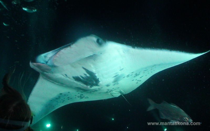 Kona Diving Company >> Review Manta Ray Night Dive With Kona Diving Company