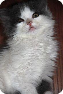 Manahawkin Nj Domestic Mediumhair Meet Dusty A Kitten For