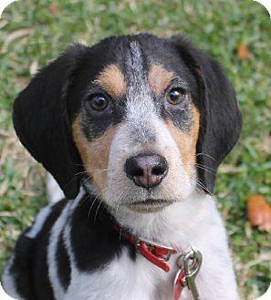 Tampa Fl Beagle Mix Meet Lola Ii A Puppy For Adoption Http