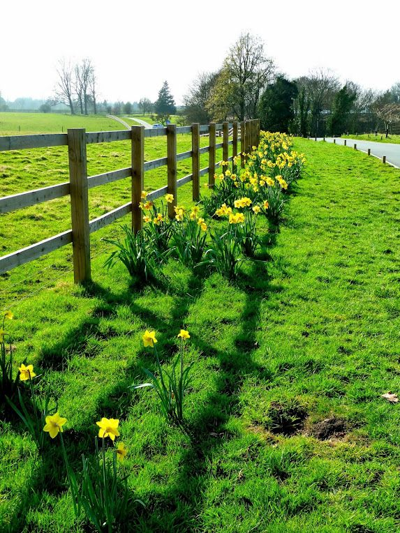 Daffodils, Someday I will live in a place like this, I hope.......