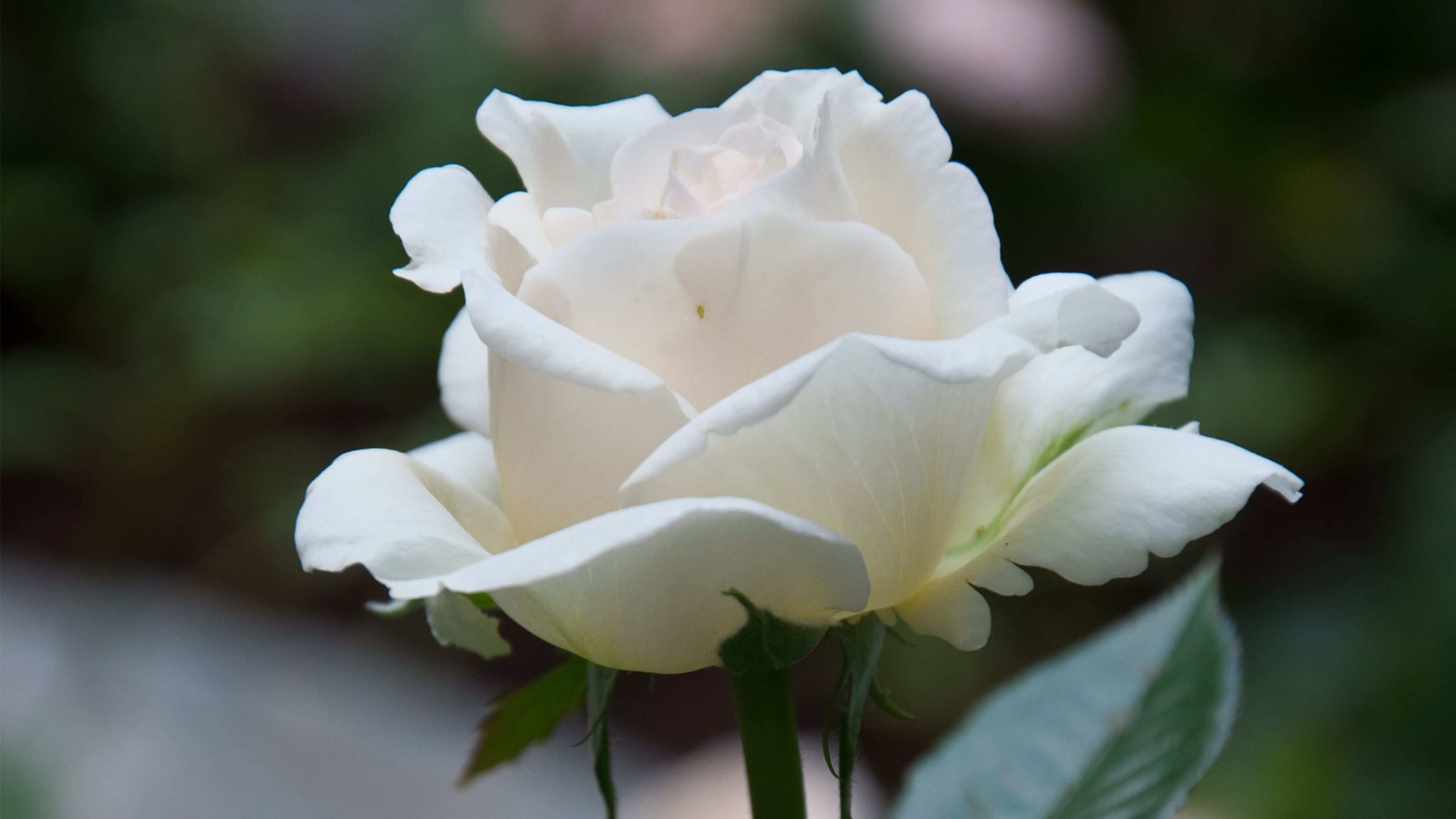 Beautiful White Rose 4k Flower Wallpapers And Hd Images Flowers