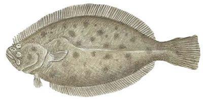 Fish Identification California Halibut Paralichthys Californicus Halibut Fish California