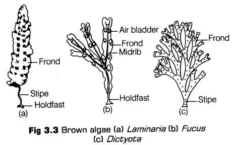 Photo of Plant Kingdom Class 11 Notes Biology Chapter 3 – CBSE Tuts