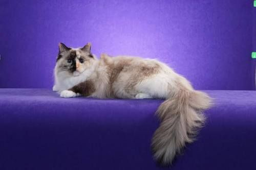 Seal Tortie Point Mitted With Images Tortie Cat Parenting