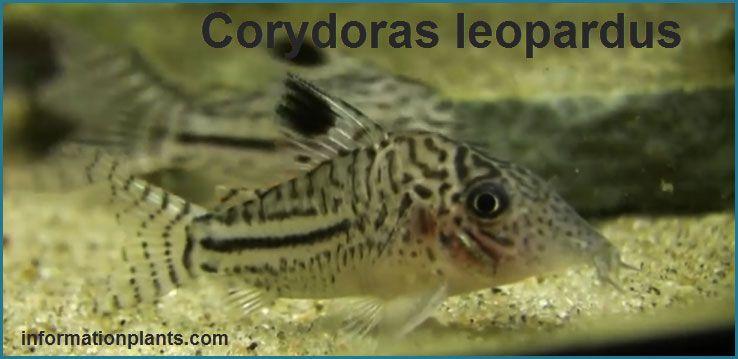انواع السمكة القطية Corydoras قوائم الاسماك قوائم انواع الاسماك معلومان عامه معلوماتية Pets Fish Pet Fish