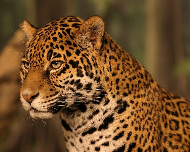 Jaguar In The Atlantic Rainforest Jaguar Animal Animals Animal Facts