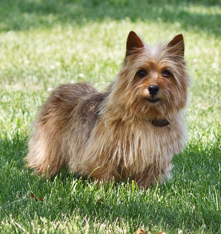 norwich terrier puppies for sale is a black and tan mom