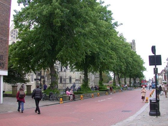 Under The Linden Trees Common Lime In A Street Misc