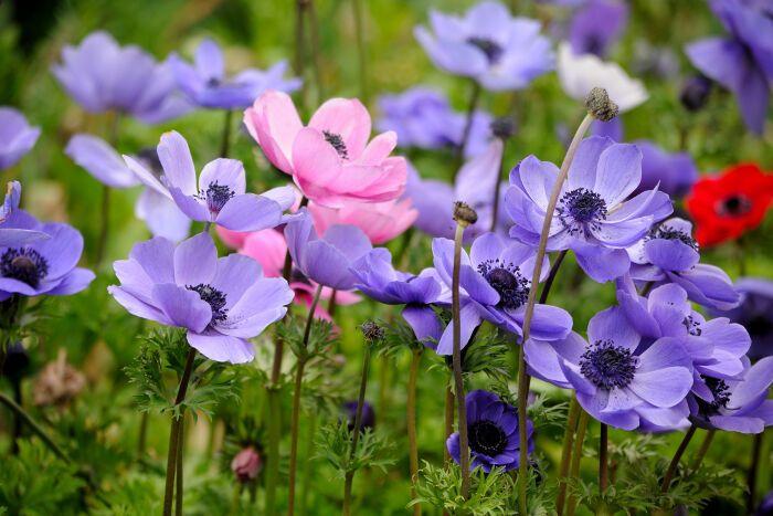 Anemone Flower Meaning Flower Meaning Flower Meanings Anemone Flower Anemone