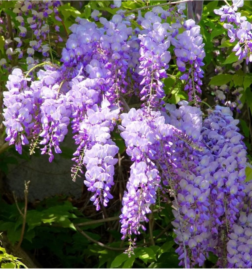 Asian Climbing Plants For The Garden Plants Wisteria Plant Garden Vines
