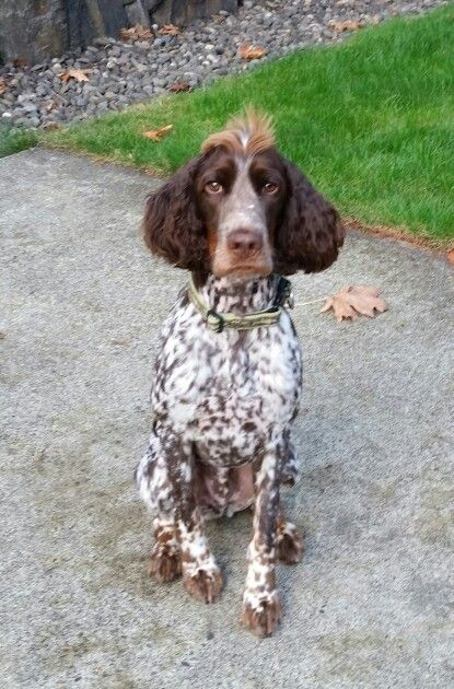 My Springer Spaniel that looks like a German Short Hair
