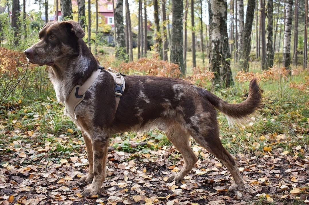 Aussiedor Also Called Sheprador Named Marvel Australian Shepherd