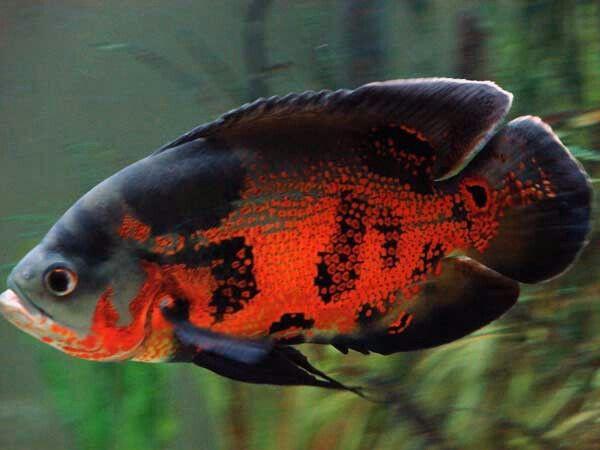 Oscar. Large cichlid. Eats pellets, frozen food, live fish