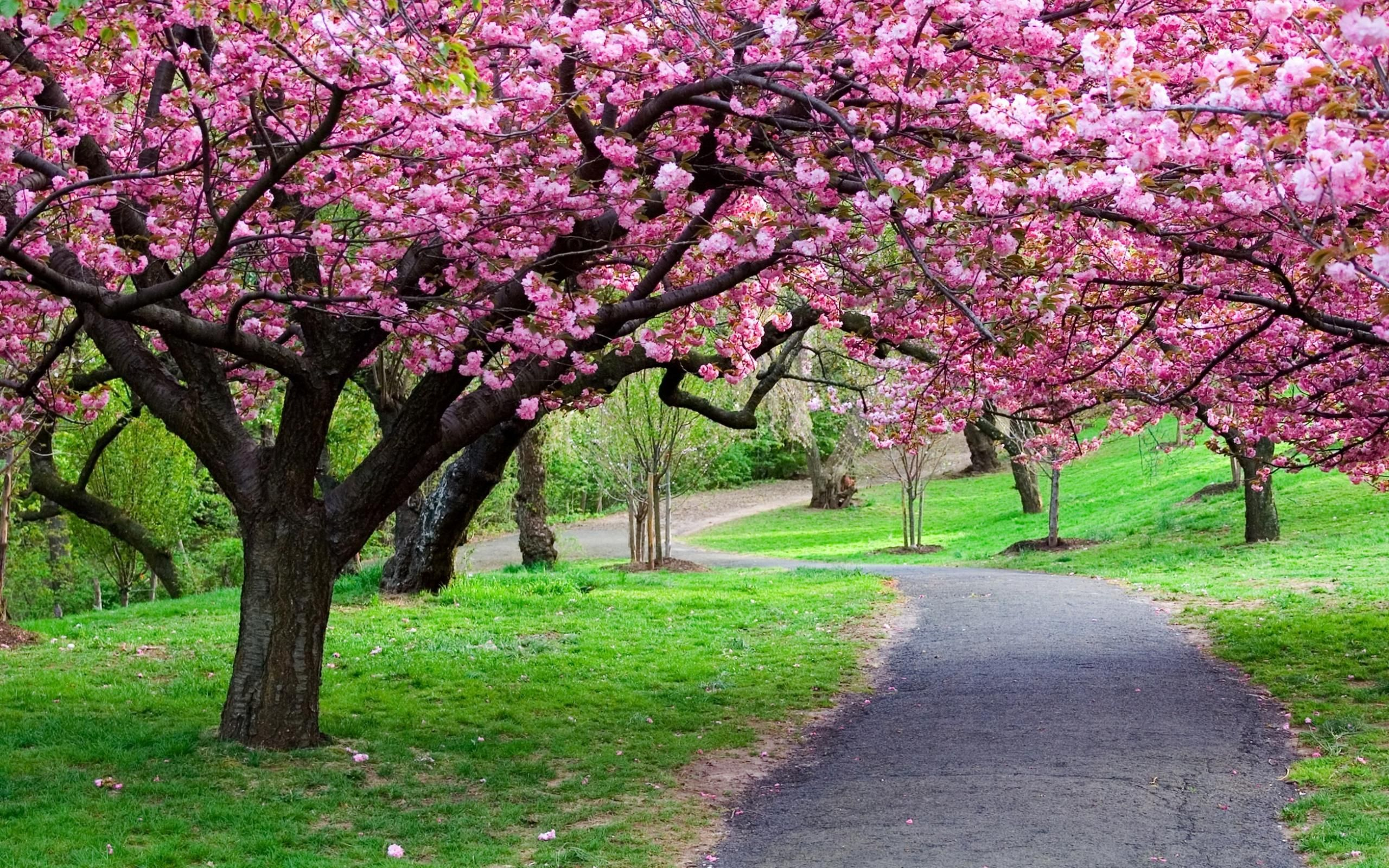 Widescreen Cherry Blossom With Nature Flower Road Hd For Pc Tree